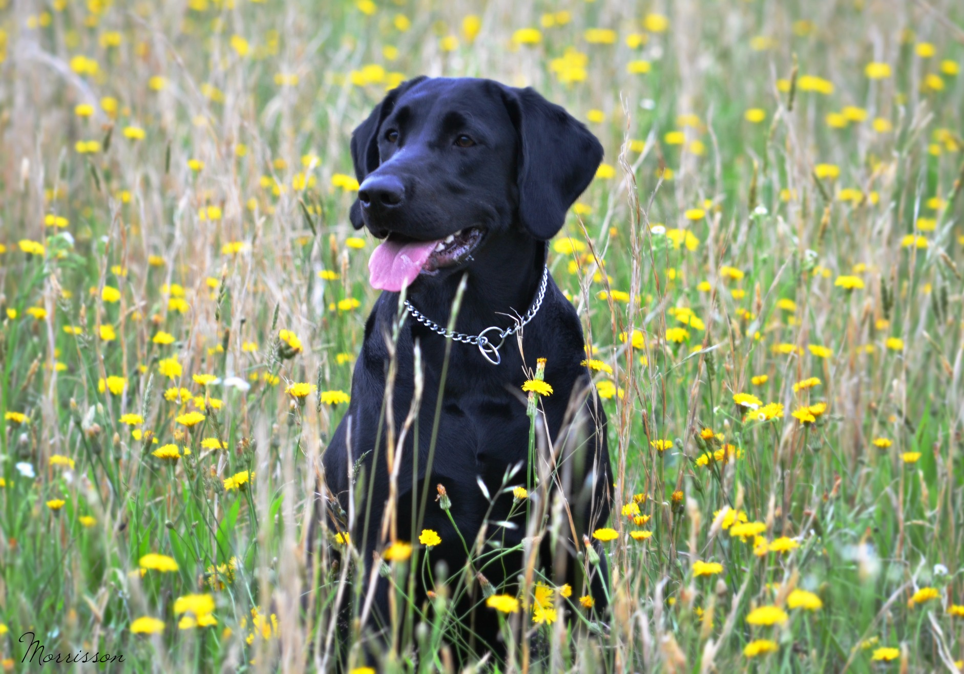 Labrador Retrievers for Sale Maryland