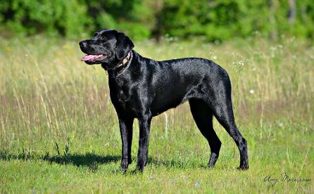 Black Labrador breeder kennel
